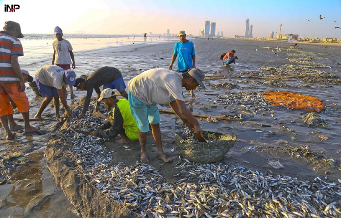 KARACHI : Peoples collecting fish's at sea view beach   INP